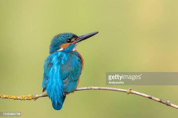 männlicher gewöhnlicher eisvogel - ast pflanzenbestandteil stock-fotos und bilder