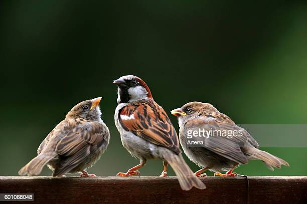 Male Common sparrow / House sparrow with two juveniles begging for food on garden fence