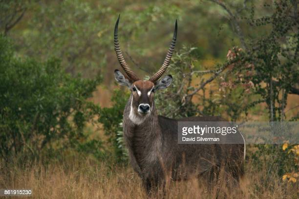 A male common waterbuck with its distinctive horns white beard and white ellipse on the rump is seen during a game drive on March 29 2015 at the Sabi...
