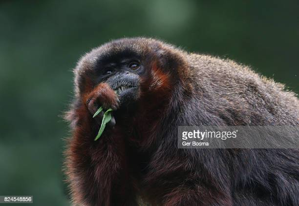 Male Coppery Titi Monkey Eating