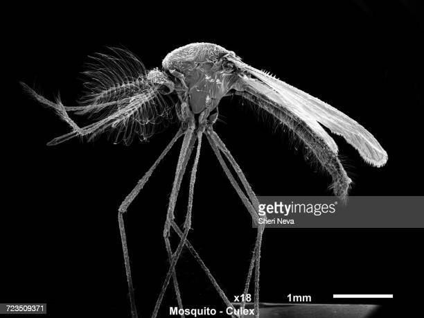 male culex mosquito, sem - mosquito stock photos and pictures