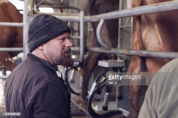männlichen molkerei-bauer bei der arbeit im melkstand schuppen - mann beim melken stock-fotos und bilder