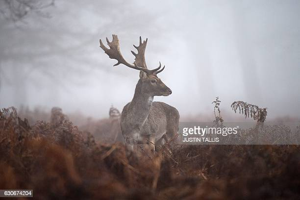 A male deer stands in the gorse on a foggy morning at Richmond park in south west London on December 30 2016 / AFP / Justin TALLIS