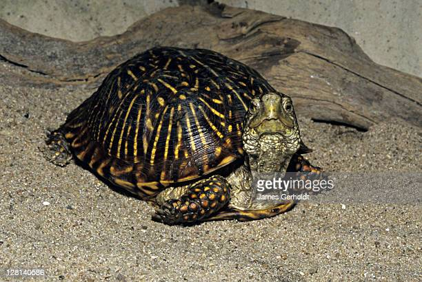 male desert box turtle, terrapene ornata luteola, arizona and new mexico, usa - asiatische wildkatze stock-fotos und bilder