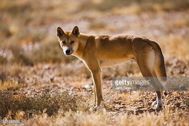 A male dingo waits for his female in the morning light.