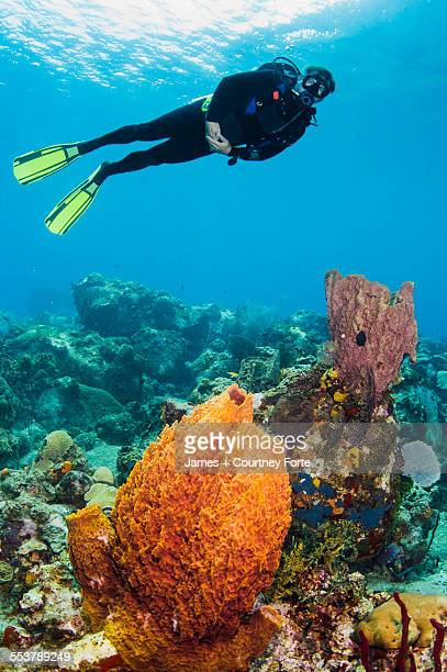A male diver explores a barrel sponge and corals, St. Lucia.