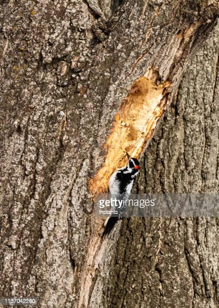 北アメリカで最も小さなゲラで、木に穴をあけている間に行動している。 - シャウィニガン ストックフォトと画像