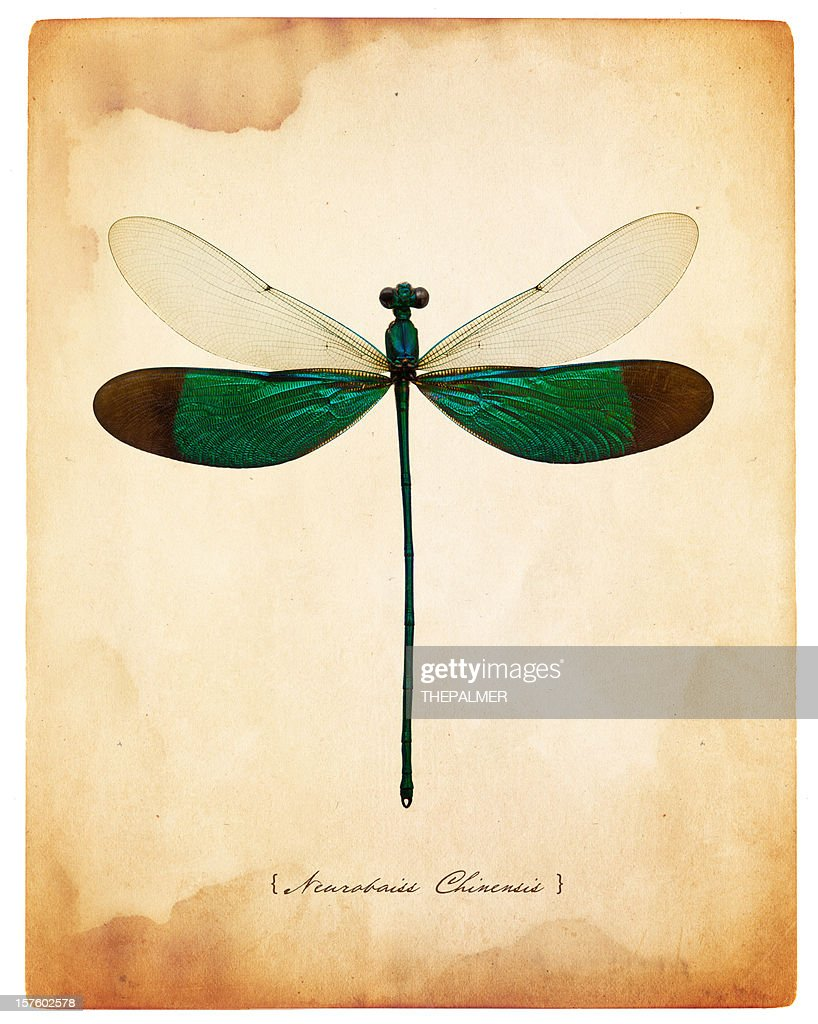 male dragonfly taxidermy : Stock Photo