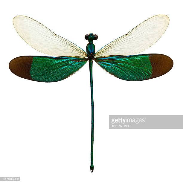 male dragonfly taxidermy