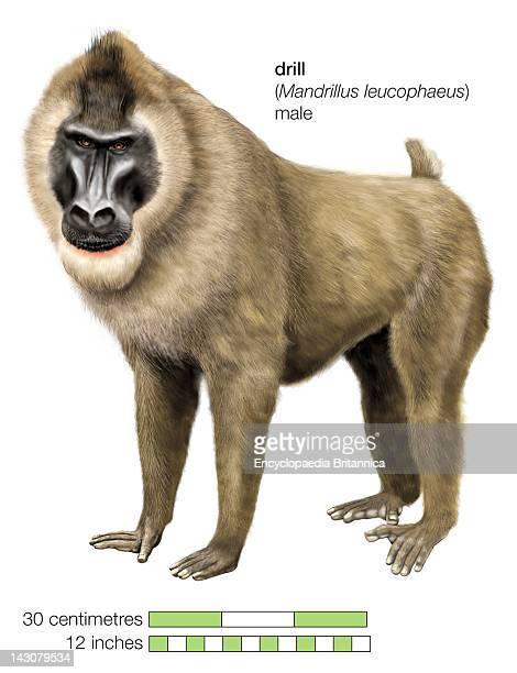Male Drill Monkey