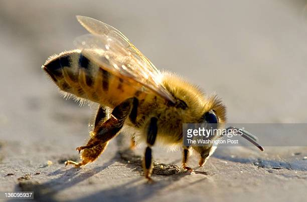 A male drone bee cleans his legs atop of a hive owned by Adam Finkelstein and Kelly Rausch who are breeding super hardy queen bees to defeat colony...