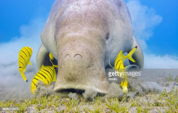 Male Dugong and Golden trevally (Gnathanodon speciosus) feeding on seagrass beds in Red Sea - Marsa Alam - Egypt