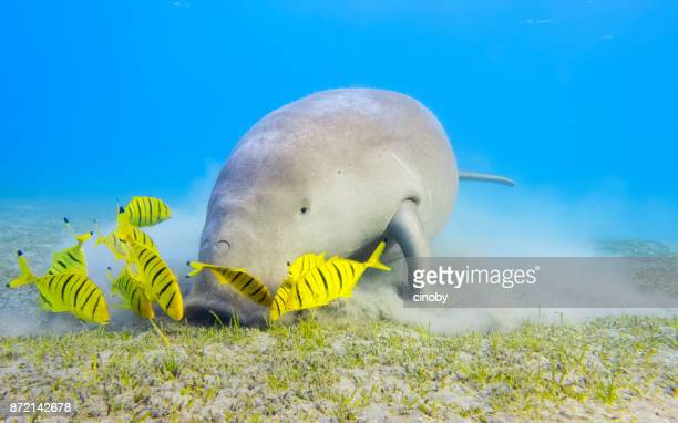 male dugong and golden trevally (gnathanodon speciosus) feeding on seagrass beds in red sea - marsa alam - egypt - under tongue stock pictures, royalty-free photos & images