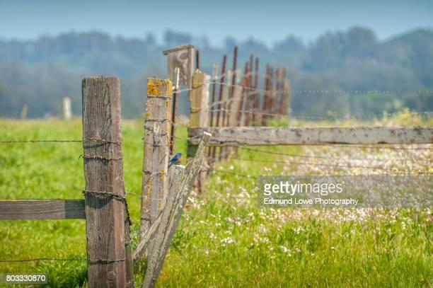 Male Eastern Blue Bird on Fence Post