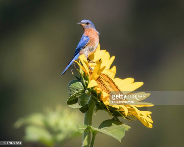 male eastern bluebird (sialia sialis) perched on sunflower bloom - eastern bluebird stock pictures, royalty-free photos & images