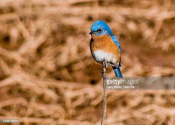 Male Eastern Bluebird watching for insects