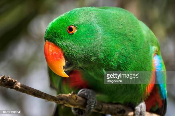 Male Eclectus parrot (Eclectus Roratus), Indonesia