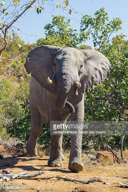 Male Elephant making a mock charge