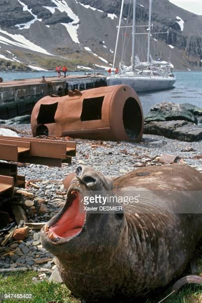 Male elephant seal among the vestiges of the former whaling station in Grytviken Elephant de mer mâle dans les vestiges de l'ancienne base baleinière...