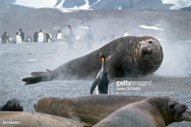 A male elephant seal approaching the harem and king penguins St Andrew's Bay South Georgia Eléphant de mer mâle s'approchant du harem et manchots...