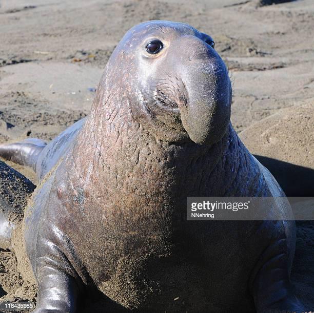 homem elefante-marinho, mirounga angustirostris - elefante marinho imagens e fotografias de stock