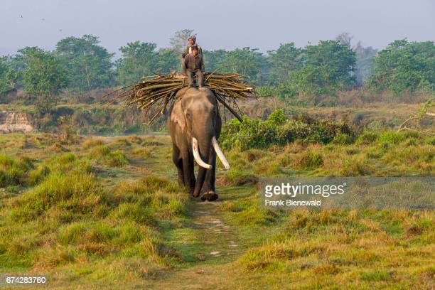 Male elephant with big molar teeth is carrying wood in Chitwan National Park.