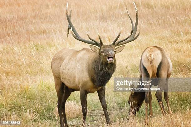male elk bugling and female - bugle stock pictures, royalty-free photos & images