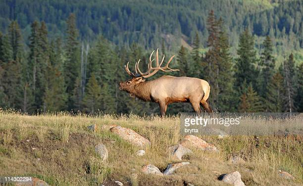 male elk bugling in rutting season,jasper national park,canada - bugle stock pictures, royalty-free photos & images