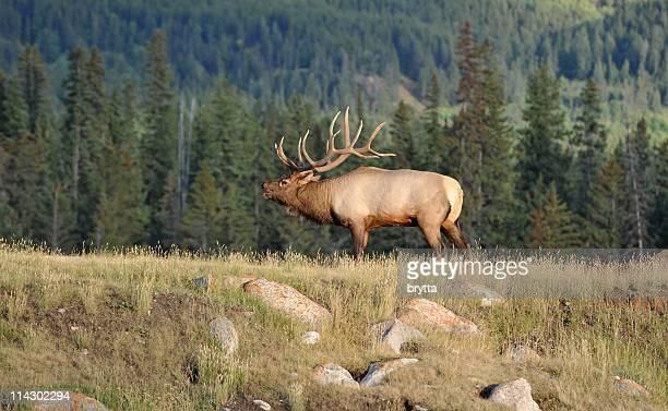 Male elk bugling in rutting season,Jasper National Park,Canada