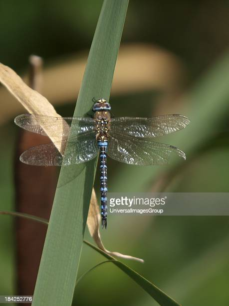 Male Emperor Dragonfly Anax imperator UK