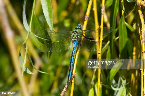 Male Emperor Dragonfly resting on a Willow tree.