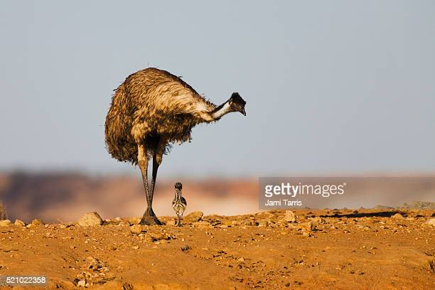 a male emu protecting his last remaining live new chick - male animal stock pictures, royalty-free photos & images