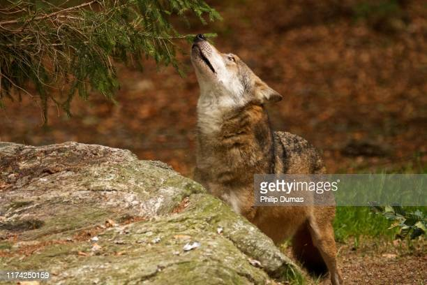 male eurasian wolf (canis lupus lupus) gazing - young hairy pics stock photos and pictures
