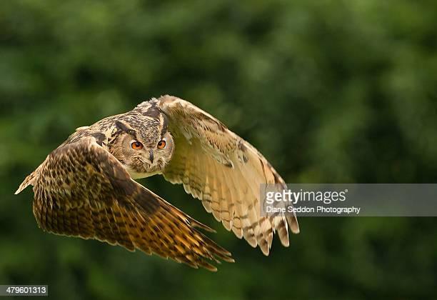 male european eagle owl - gufo reale foto e immagini stock