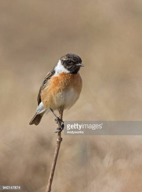 male european stonechat (saxicola rubicola) - songbird stock pictures, royalty-free photos & images