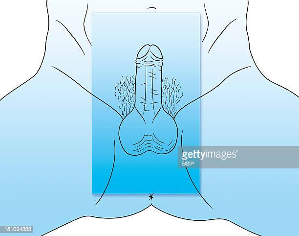 Male External Genital Organs See Images 0348407 For The Male External Genital Organs 0348607 And 0348707 For The Female External Genital Organs