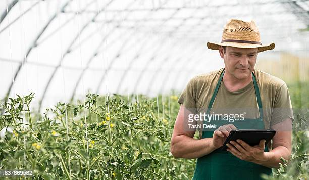Male Farm Worker In Greenhouse Checking Tomato Plants