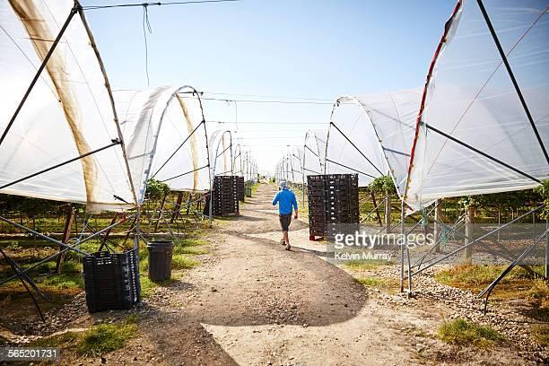 A male farm worker walks between farm poly tunnels