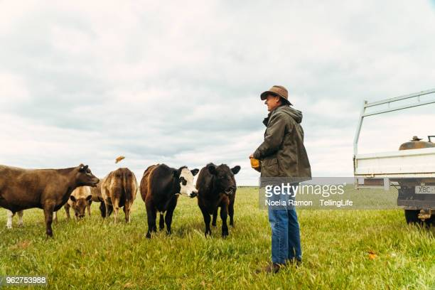 A male farmer feeding cows in the country Victoria, Australia