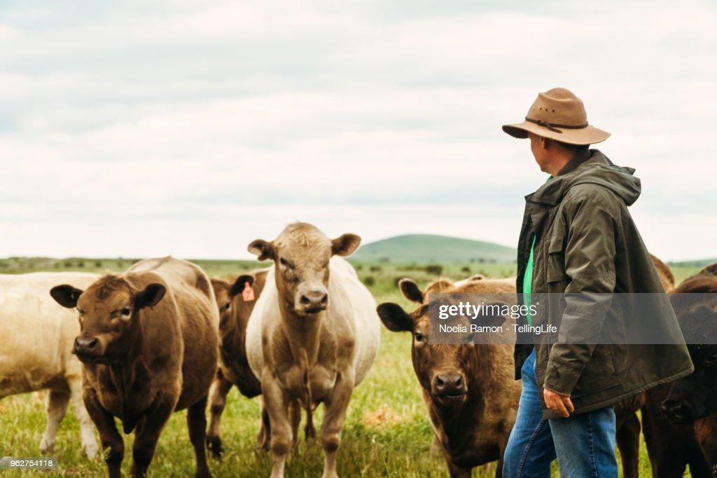 A male farmer feeding cows in the country Victoria, Australia : Stock Photo