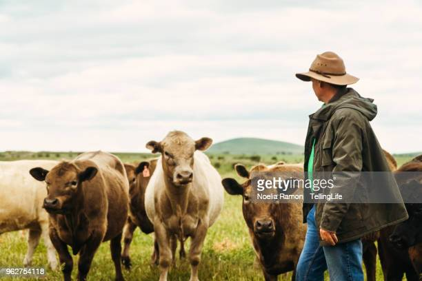 a male farmer feeding cows in the country victoria, australia - local produce stock pictures, royalty-free photos & images