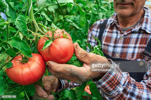 male farmer picking tomatoes from his garden - farm worker stock pictures, royalty-free photos & images