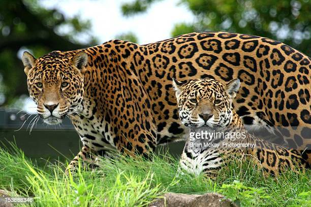 male & femail jaguars - jaguar stock photos and pictures