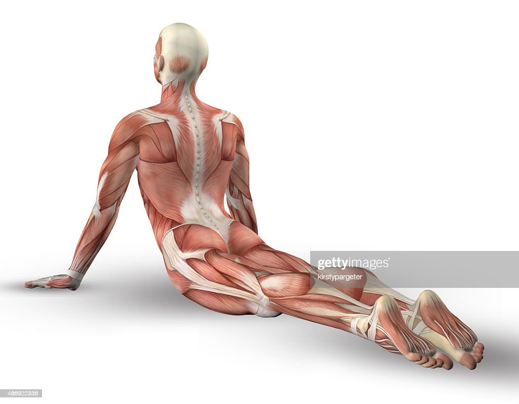 3d Male Figure With Muscle Map In Yoga Pose Stock Photo Getty Images