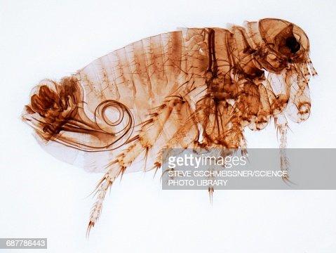 Male flea, LM