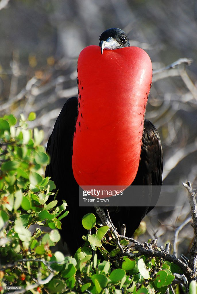 Male frigate birde at Galapagos Islands : Stock-Foto
