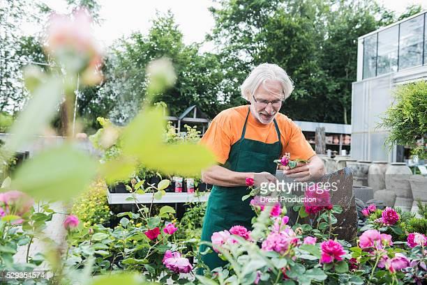 Male gardener trimming roses in greenhouse, Augsburg, Bavaria, Germany
