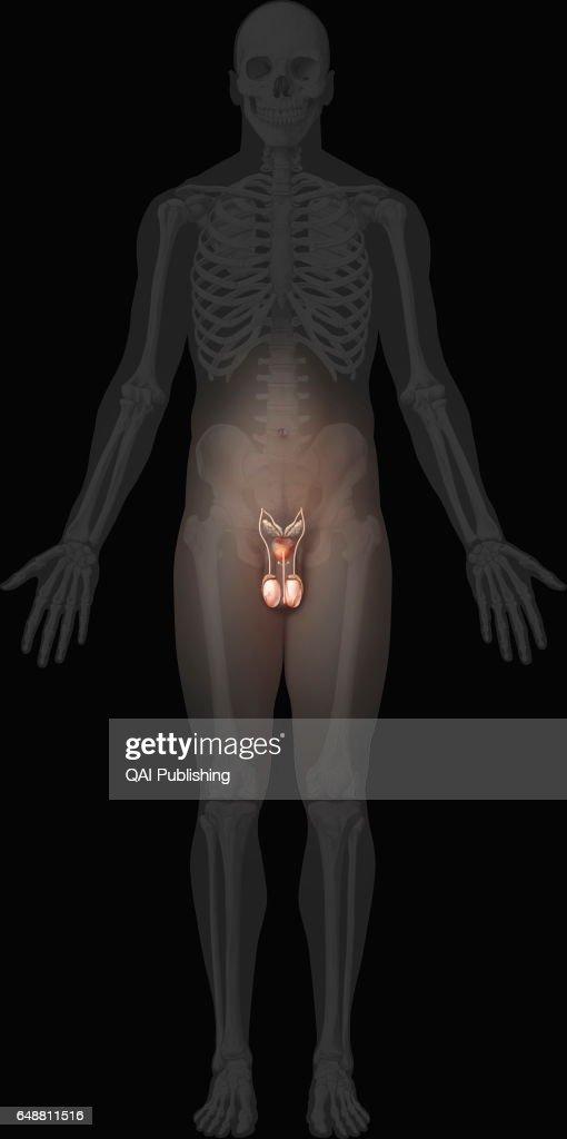 Male genital organs : News Photo