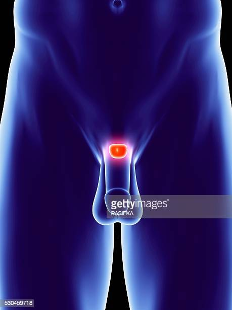 male genitalia and prostate, artwork - scroto foto e immagini stock