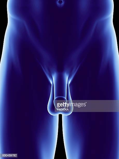 male genitalia, artwork - scrotum stock pictures, royalty-free photos & images